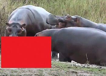 【衝撃】カバが地上最強生物なワケない ⇒ この肉食映像見て考えが変わった…