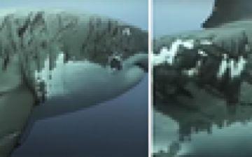 【驚愕】世界最強のホオジロザメ個体、その皮膚が他のサメとはレベル違いすぎた…